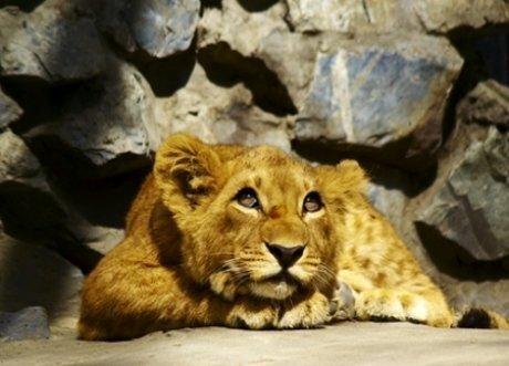 Fototapeet Dreamy young lion цена и информация | Fototapeedid | kaup24.ee