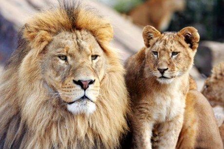 Фотообои King of beasts 255x170 см цена и информация | Fototapeedid | kaup24.ee