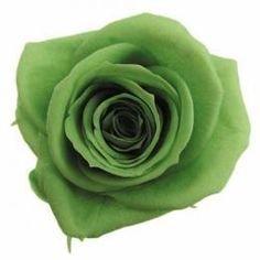Dekoratiivne roos Amorosa Standard Green Tea